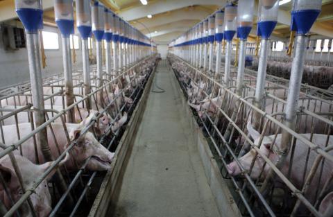 Explotación de ganado porcino