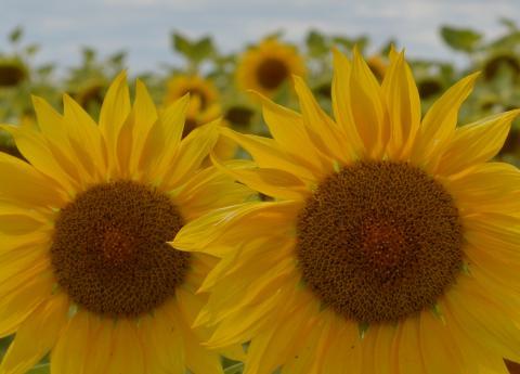 COBADU ofrece diferentes variedades de semilla de girasol adaptadas a varios tipos de terreno.