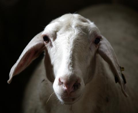 Mejora de la productividad en rebaños ovinos mediante el control de las helmintosis digestivas