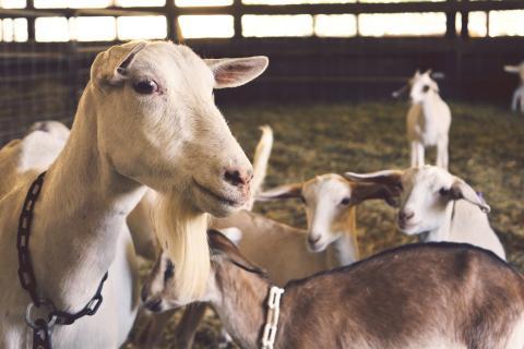 Gestión integral en ganado caprino Cobadu