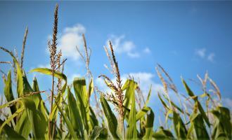 Campo maíz
