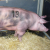 Híbridas de porcino